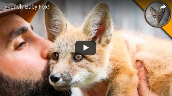 friendly baby fox
